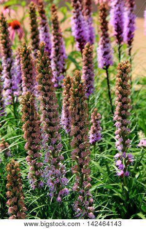 Beautiful tall stalks of purple wildflowers in open meadow.