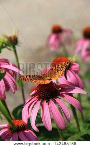 Beautiful pink flowers with butterfly perched atop of them, wings opened up fully to the sunshine.