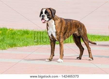 German Boxer tiger colored profile. The German Boxer is in the park.
