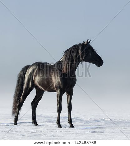 Lonely black horse in the field in the winter. Monochromatic photo.