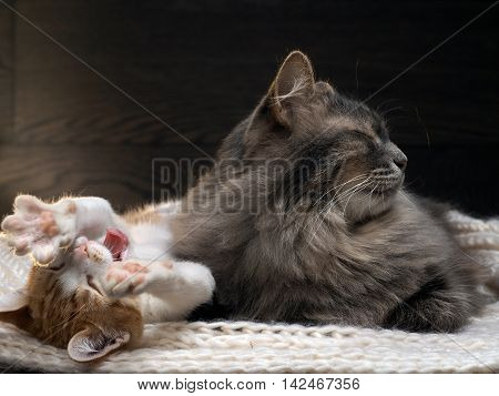 Big gray cat and a small white and red kitten lying together on a knitted rug. Kitten funny pulls legs and yawns