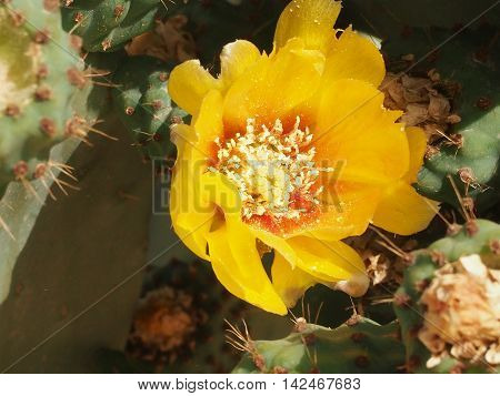 yellow flowers and unripe fruits of an edible cactus prickly pear