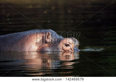 Hippopotamus (Hippopotamus Amphibius) in the Water looking over the Surface. Lake Mburo Uganda