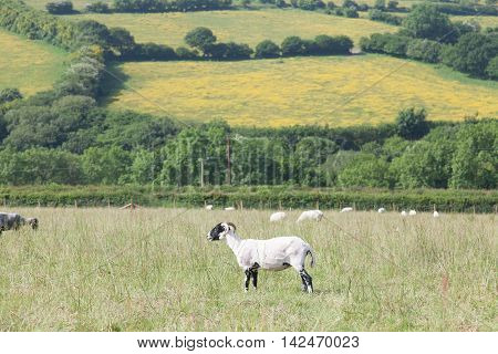 Freshly sheared sheep in a field with rural landscape in the background.