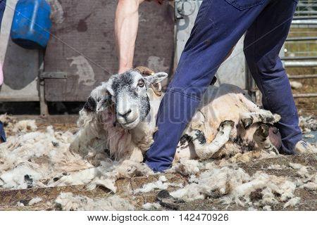 Farmer Shearing A Sheep