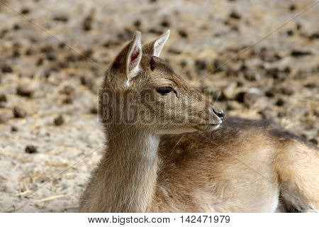 a female deer lying on the autumnal ground