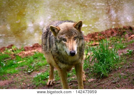 a portrait of a Timber Wolf in forest
