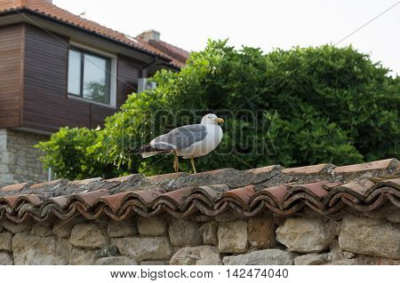 large seagull walking on the tiles fence