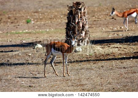 a young springbok in a national park