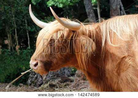 Detail of Highland cattle during the daytime.
