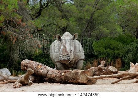A white rhino / rhinoceros stands behind a tree trunk