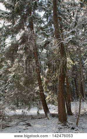 Coniferous stand of spruces snow wrapped in morning, Bialowieza Forest, Poland, Europe