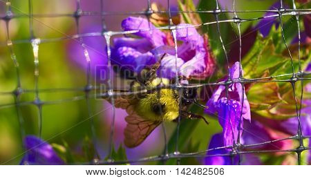 A Bumble Bee collecting pollen in south