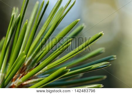 Closeup of a lodgepole pine (Pinus contorta) needles against a blurred background