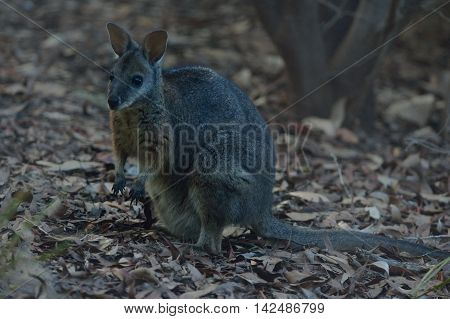 wallaby is standing on the Kangaroo island