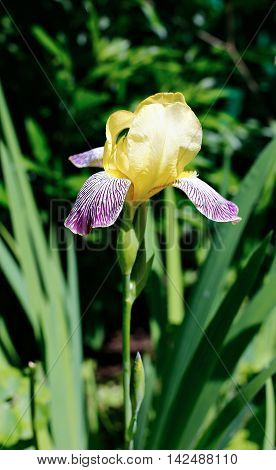 Yellow iris flower with blue stripes in garden
