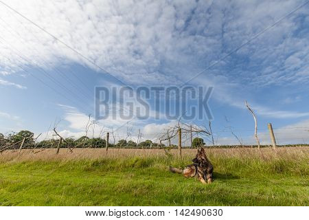 Dog laid on grass in farmland in rural countryside in Carmarthenshire Wales UK