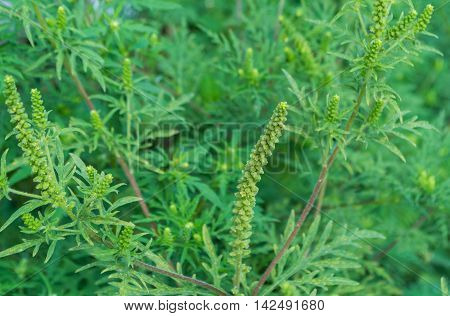 Ambrosia Artemisiifolia Causing Allergy