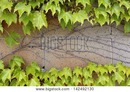 ivy leaves growing on a wall background in the spring