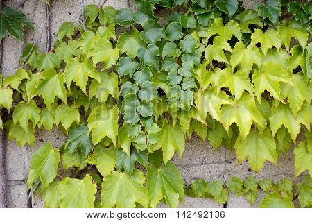 ivy gets twisted to wall, texture background
