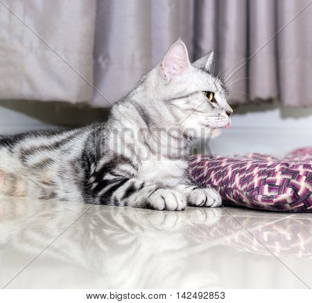 Crazy funny American shorthair cat with yellow eyes and protruding tongue