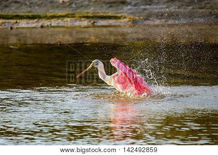 Roseate Spoonbill (platalea Ajaja)