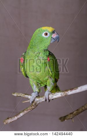 Vertical shot of green parrot perched on a wooden twig. He is an Yellow Crowned Amazon from South America.