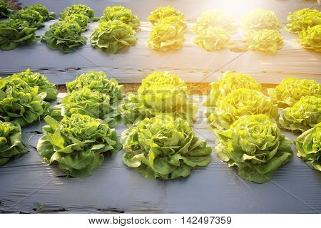 Rows of fresh lettuce plants on a fertile field