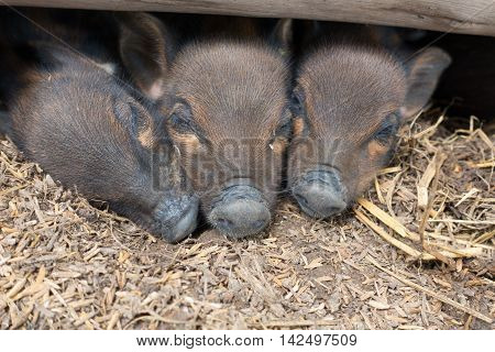 Black Pig Sleep in the Thatch, small pig
