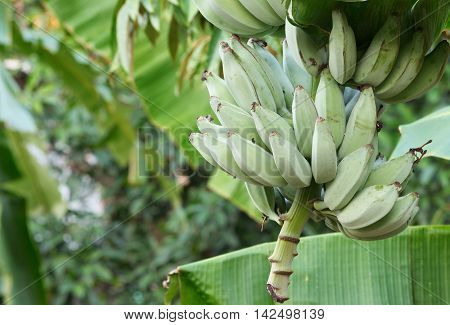 Close up Bunch of banana on tree in the garden.  :Select focus with shallow depth of field. and soft-focus background