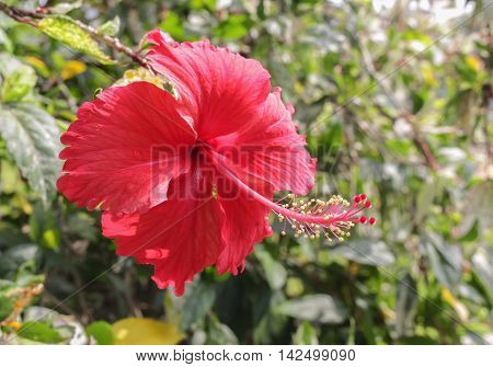 Hibiscus. beautiful red hibiscus flower In the garden