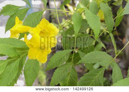Yellow elder Yellow bells or Trumpet vine flowers.