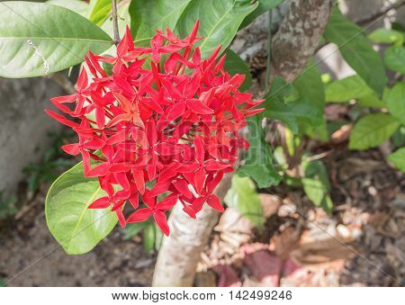 Red flower spike Rubiaceae flower Ixora coccinea It is a flowering shrub native to Southern India and Sri Lanka