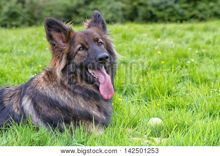 German Shepherd Dog laid on grass with his ball and his tongue out