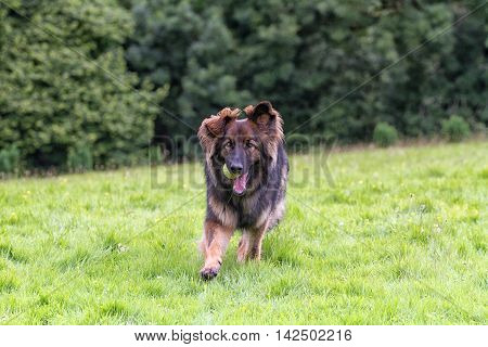 German Shepherd Dog returning with his ball playing a game of fetch