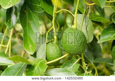 Avocados fruit growing on tree, raw avocados