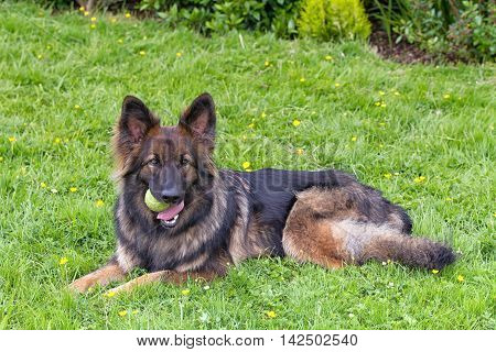 German Shepherd Dog laid on grass with his ball in his mouth