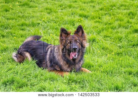 Playful German Shepherd Dog laid on grass wanting to start a game