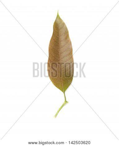 Mango leaf on white background Mango leaf crest mild.