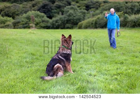 German Shepherd Dog with a collar sat on grass looking at his owner. View from behind the dog with the out of focus trainer man in the background.