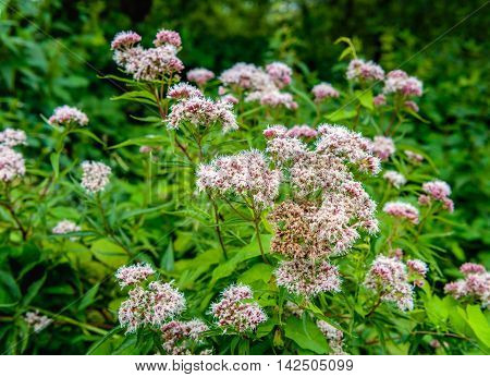 Closeup of blossoming and overblown Valerian plants growing in the wild nature in the summer season.
