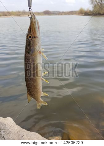 Pike caught on wobbler. Fishing on the lake