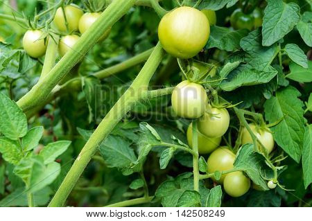Green unripe tomatoes growing on the stems to the ground.