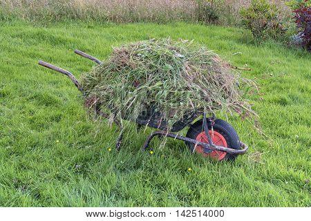 Garden wheel barrow on long grass heaped full of weeds. Gardening weeding maintenance