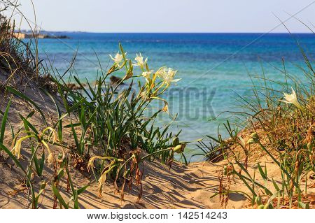 Summer landscape.Torre Guaceto. Nature Reserve: Pancratium maritimum, or sea daffodil. BRINDISI (Apulia)-ITALY-Mediterranean maquis: a nature sanctuary between the land and the sea.