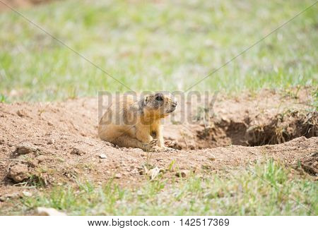 Utah prairie dog (Cynomys parvidens) sitting near the hole in Bryce Canyon National Park. Utah, USA