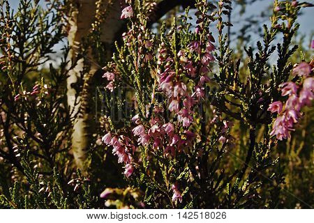 detail of flowering heather beside birches in a tourist area Machuv kraj near to the village Hradcany in czech republic