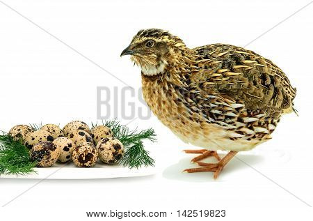Adult domesticated quail with egg isolated on white background