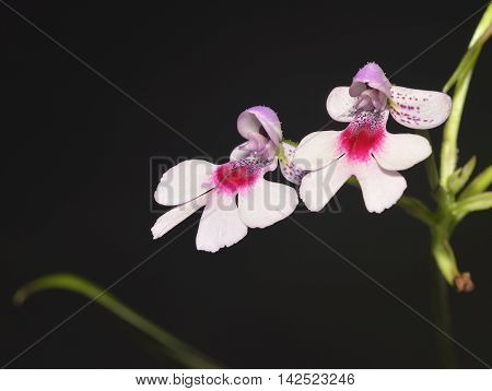 Spotted Cynorkis Orchid - Cynorkis guttata From Madagascar
