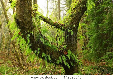 a picture of an exterior Pacific Northwest forest with a mossy  Vine maple tree and ferns